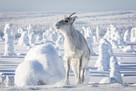 Ailo: Une odyssée en Laponie - Key art (xs thumbnail)