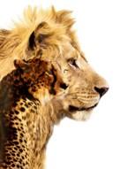 African Cats - Key art (xs thumbnail)
